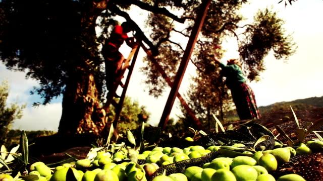 vidéos et rushes de olive harvest - récolter