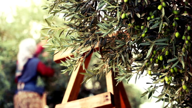 olive harvesting - italian food stock videos and b-roll footage