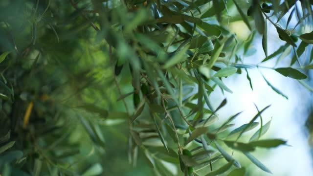 木の枝の緑のオリーブからオリーブオイルが滴り落ちる - サラダドレッシング点の映像素材/bロール