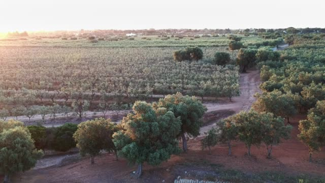 olive plantation - aerial view - olive oil stock videos & royalty-free footage