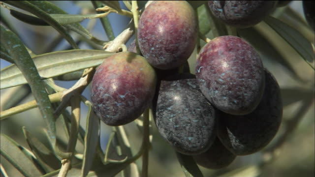 olive plantation, cazorla (andalusia, spain) - black olive stock videos & royalty-free footage