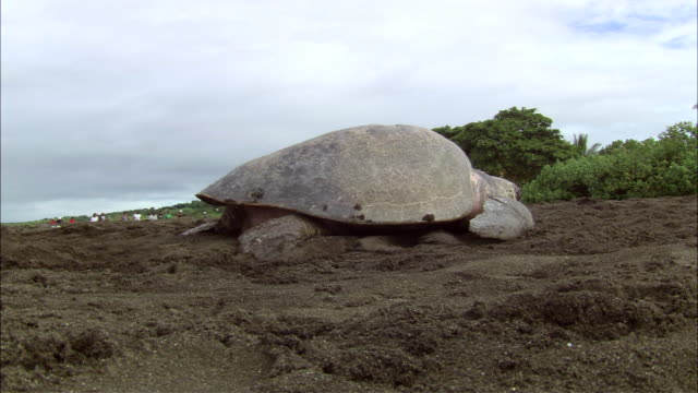 ms olive ridley is laying eggs on crowded beach / guanacaste, costa rica - costa rica stock videos & royalty-free footage