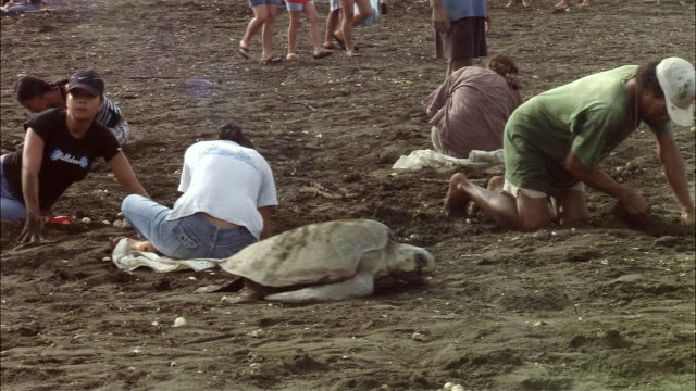 MS Olive Ridley passing turtle egg hunters digging on beach / Papagayo Peninsula, Guanacaste, Costa Rica