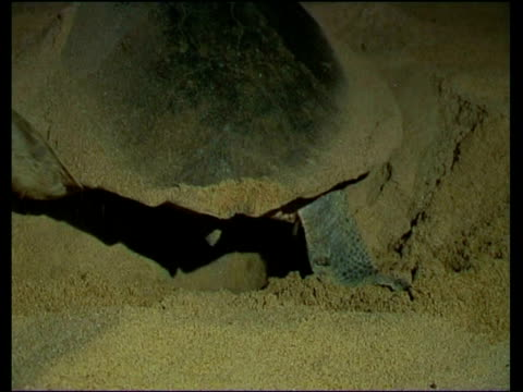olive ridley sea turtle (lepidochelys olivacea) digging hole for eggs - scavare video stock e b–roll