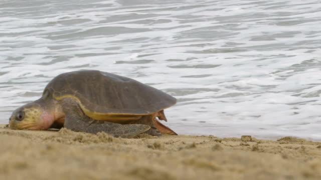 vidéos et rushes de d'olive ridley tortues de mer - tortue aquatique
