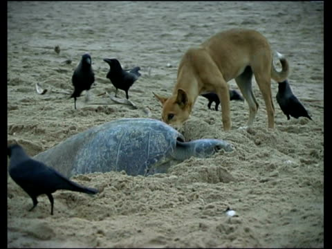olive ridley sea turtles (lepidochelys olivacea) laying eggs surrounded by crows and dog, india - 迷子の動物点の映像素材/bロール