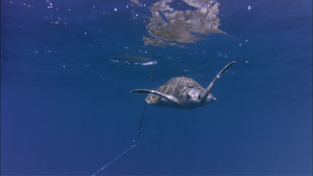ms olive ridley swimming away from longline / guanacaste, costa rica - fishing stock videos and b-roll footage
