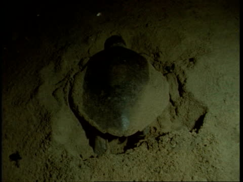 olive ridley turtle (lepidochelys olivacea); adult female digging hole in sand at night. india - scavare video stock e b–roll