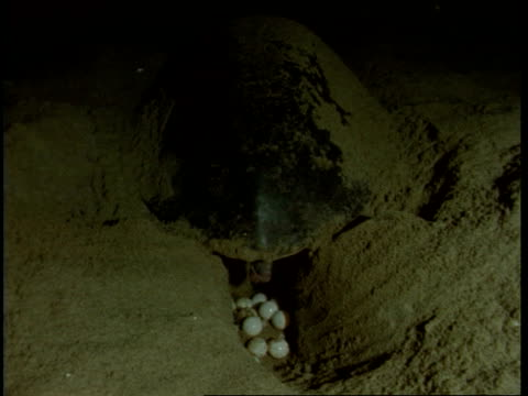olive ridley turtle (lepidochelys olivacea); adult female laying eggs at night. india - scavare video stock e b–roll