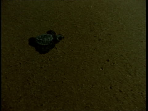 olive ridley turtle (lepidochelys olivacea); juvenile crossing sand, top shot at night. india - turtle crossing stock videos & royalty-free footage