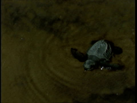 vidéos et rushes de olive ridley turtle (lepidochelys olivacea) juvenile heading for sea, washed by waves at night, india - groupe moyen d'objets