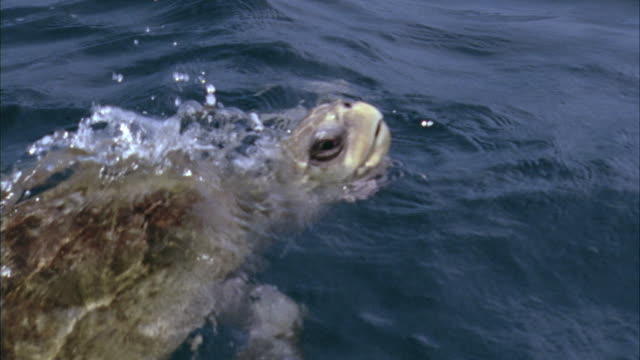 ms olive ridley turtle surfacing / guanacaste, costa rica - costa rica stock videos & royalty-free footage