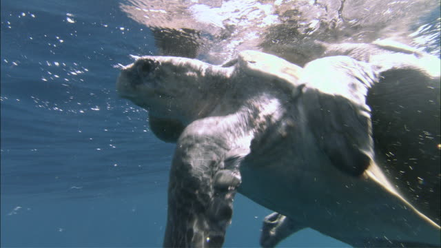 ms olive ridley turtles mating at surface ocean / guanacaste, costa rica - costa rica stock videos & royalty-free footage