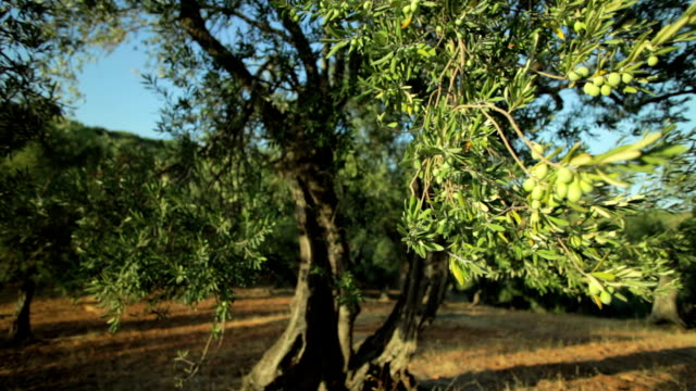 olive tree branch  (dolly shot) - olive fruit stock videos and b-roll footage