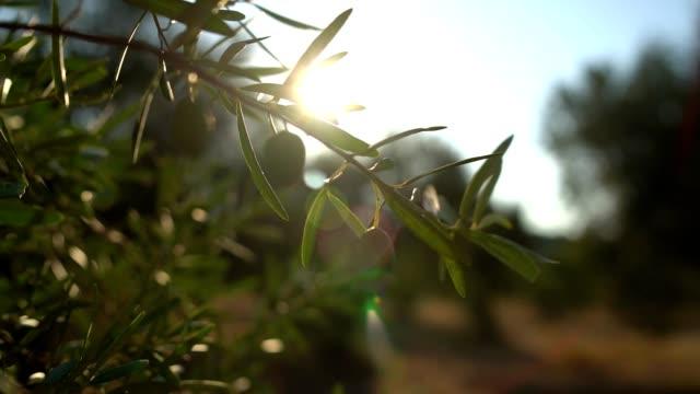 vídeos y material grabado en eventos de stock de ramas de olivos - aceite para cocinar