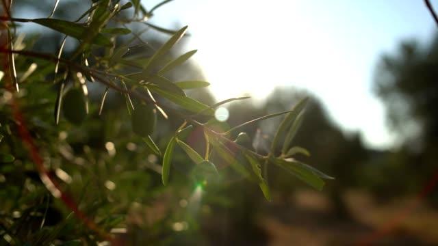 vídeos y material grabado en eventos de stock de ramas de olivos - rama parte de planta