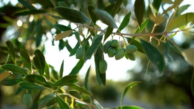 オリーブの木の枝 - オリーブ点の映像素材/bロール