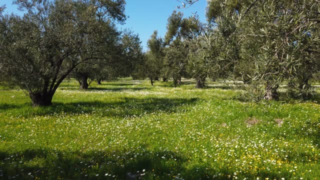 olive tree garden in springtime - cucina mediterranea video stock e b–roll