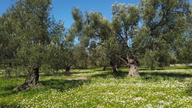 春のオリーブツリーガーデン - オリーブ点の映像素材/bロール