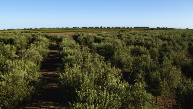 olive tree in italy - inquadratura da un aereo video stock e b–roll