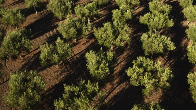 olive tree in italy - olive fruit stock videos and b-roll footage