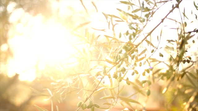 olive tree in sunset - greek islands stock videos and b-roll footage