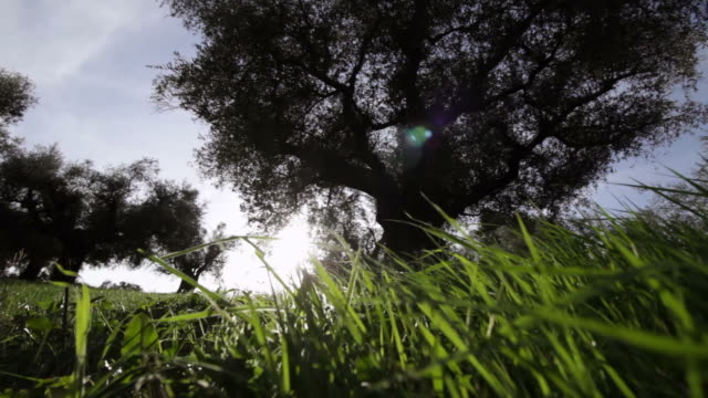 Olive Tree in the land of Sabina, Italy