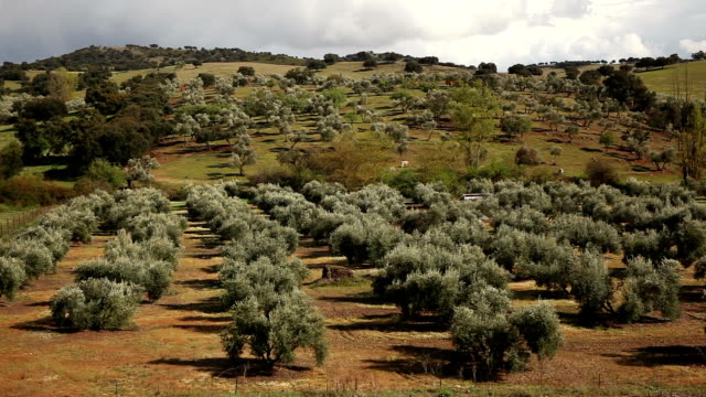 olive tree landscape - olive oil stock videos & royalty-free footage