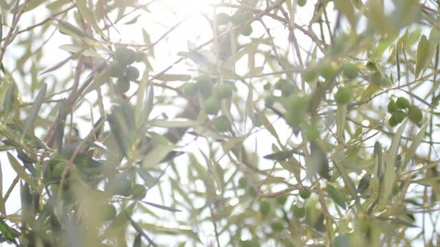 Olive tree Tuscany, italy