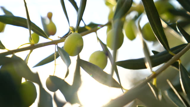 olive tree - olive oil stock videos & royalty-free footage