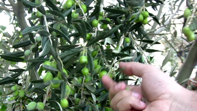 vidéos et rushes de olivier tree - récolter