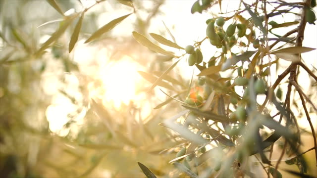 olive tree with leaves - olive oil stock videos & royalty-free footage