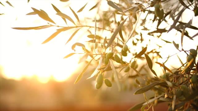 vidéos et rushes de olive arbre avec feuilles - huile de table