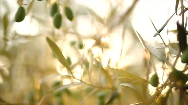 vidéos et rushes de olive arbre avec feuilles - branche partie d'une plante
