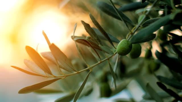 vidéos et rushes de olivier avec des faisceaux de lumière du soleil - branche partie d'une plante