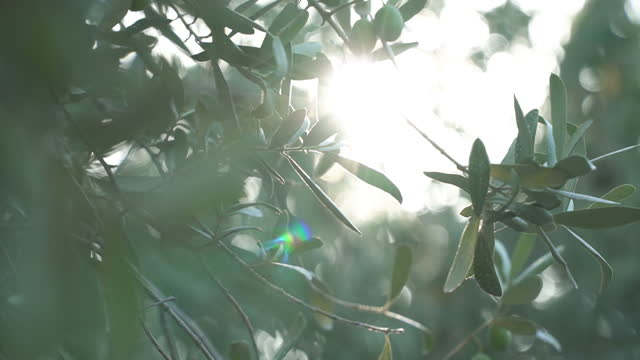olive tree with sunlight beams - mediterranean culture stock videos & royalty-free footage