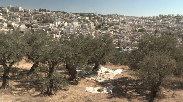 olive trees, hebron, palestine - palestinian territories stock videos and b-roll footage