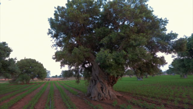 Olive trees in Puglia, Italy