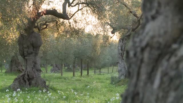Olive trees in the Italian region of Puglia are under major threat from Xylella Fastidiosa a bacteria which dries out the trees