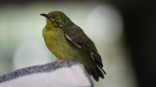olive-backed sunbird - songbird stock videos & royalty-free footage