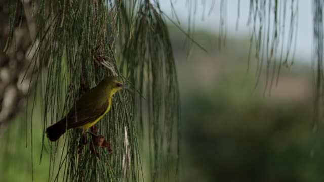 olive-backed sunbird with twig in beak perched on branch - twig stock videos & royalty-free footage