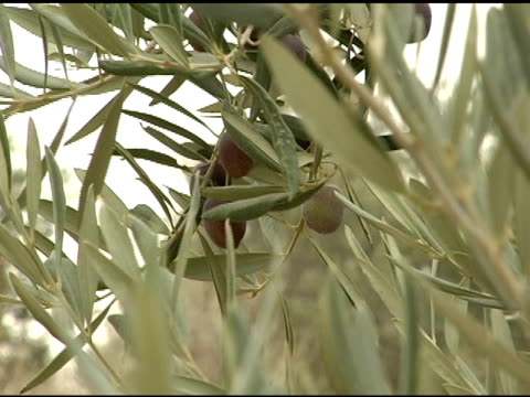 olives and branches - ripe stock videos & royalty-free footage