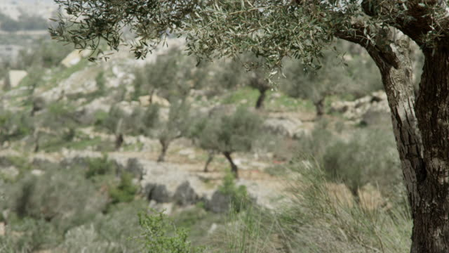 vidéos et rushes de olives groves in the palestinian territories - verger