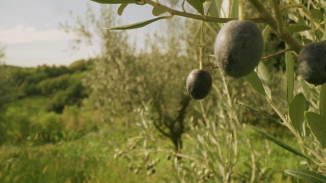 オリーブの木の上のmsオリーブ - オリーブ点の映像素材/bロール