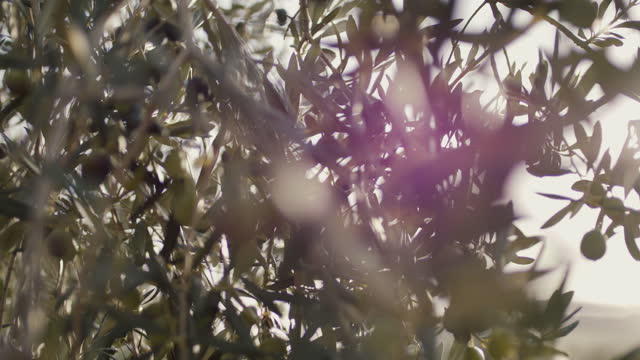 olives on tree branch - orchard stock videos & royalty-free footage