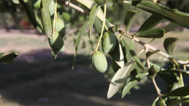 Olives plantation in Mendoza