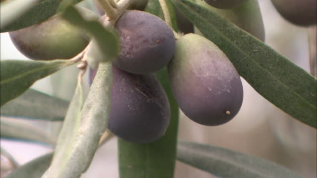 olives ripen in clusters. - olive fruit stock videos and b-roll footage