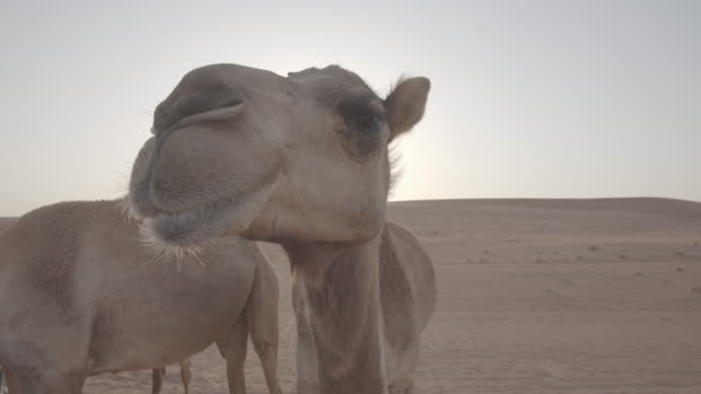 oman camel - camel stock videos & royalty-free footage