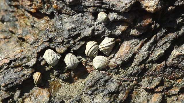 omphalius rusticus (top shell) - mollusc stock videos & royalty-free footage