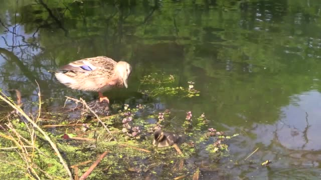 on a lake in the stirling university grounds - duck stock videos & royalty-free footage